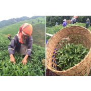 Matcha Tee Grünteeblätter von Hand gepflückt